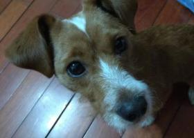 寻狗启示,黄色小串串狗寻找失主,它是一只非常可爱的宠物狗狗,希望它早日回家,不要变成流浪狗。