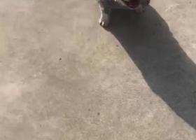 寻狗启示,找今天在高新区丢的斗牛犬,它是一只非常可爱的宠物狗狗,希望它早日回家,不要变成流浪狗。