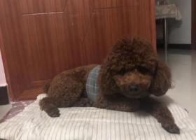 寻狗启示,濮阳市龙城国际寻狗!!!,它是一只非常可爱的宠物狗狗,希望它早日回家,不要变成流浪狗。