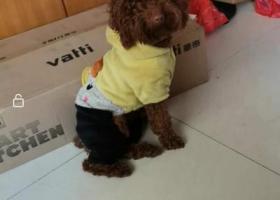寻狗启示,紧急求助,寻棕红色泰迪,它是一只非常可爱的宠物狗狗,希望它早日回家,不要变成流浪狗。
