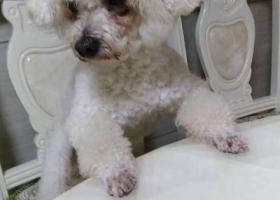 寻狗启示,寻找比熊串串,定给重酬,它是一只非常可爱的宠物狗狗,希望它早日回家,不要变成流浪狗。