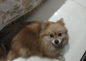 寻狗启示,找我家的妞妞  博美 丢失半个月了  急  谢谢大家,它是一只非常可爱的宠物狗狗,希望它早日回家,不要变成流浪狗。