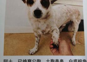 寻狗启示,白底棕色花纹土狗串串在雨花台走失,它是一只非常可爱的宠物狗狗,希望它早日回家,不要变成流浪狗。