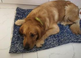 寻狗启示,长沙 金毛 走丢 找主人,它是一只非常可爱的宠物狗狗,希望它早日回家,不要变成流浪狗。