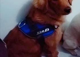 寻狗启示,金毛狗狗二筒于1月9日昨天下午4点48分左右在小龙坎石小路72号斌鑫胜景雅苑丢失,它是一只非常可爱的宠物狗狗,希望它早日回家,不要变成流浪狗。