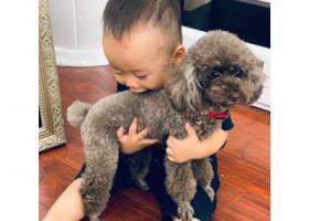寻狗启示,深圳市宝安区洪浪街道恒安花园六岁棕色发白贵宾走失,它是一只非常可爱的宠物狗狗,希望它早日回家,不要变成流浪狗。