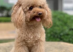 寻狗启示,深圳下梅林梅景片区遗失小体泰迪,它是一只非常可爱的宠物狗狗,希望它早日回家,不要变成流浪狗。
