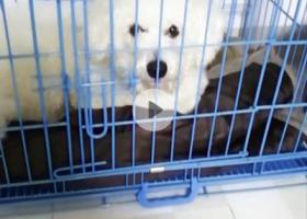 寻狗启示,长沙岳麓区捡到只比熊,主人速联系,它是一只非常可爱的宠物狗狗,希望它早日回家,不要变成流浪狗。