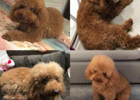 寻狗启示,1月11日遗失泰迪公狗,它是一只非常可爱的宠物狗狗,希望它早日回家,不要变成流浪狗。