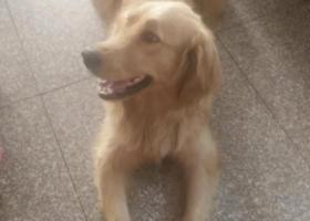 寻狗启示,金毛丽丽主人等你回家,它是一只非常可爱的宠物狗狗,希望它早日回家,不要变成流浪狗。