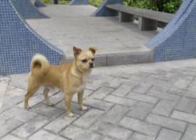 寻狗启示,江门市新会区寻狗启示,它是一只非常可爱的宠物狗狗,希望它早日回家,不要变成流浪狗。