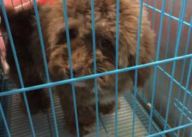 寻狗启示,浦东捡到一只成年棕色母泰迪,它是一只非常可爱的宠物狗狗,希望它早日回家,不要变成流浪狗。