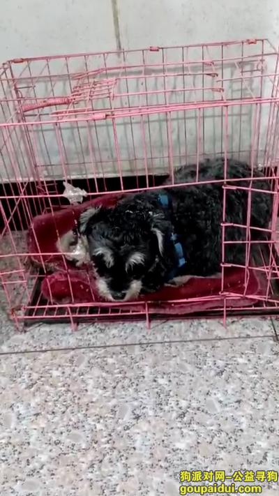 六安丢狗,本人于13号夜里丢失一只雪纳瑞,希望有心人帮助一下,它是一只非常可爱的宠物狗狗,希望它早日回家,不要变成流浪狗。