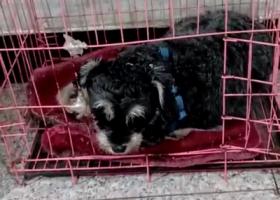 寻狗启示,本人于13号夜里丢失一只雪纳瑞,希望有心人帮助一下,它是一只非常可爱的宠物狗狗,希望它早日回家,不要变成流浪狗。