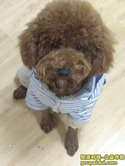 连云港找狗,寻棕色泰迪 公狗 1月14号中午11点左右丢失,它是一只非常可爱的宠物狗狗,希望它早日回家,不要变成流浪狗。