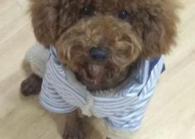 寻狗启示,寻棕色泰迪 公狗 1月14号中午11点左右丢失,它是一只非常可爱的宠物狗狗,希望它早日回家,不要变成流浪狗。