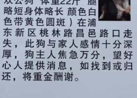 寻狗启示,上海浦东新区桃林路昌邑路酬谢六千元寻找田园犬,它是一只非常可爱的宠物狗狗,希望它早日回家,不要变成流浪狗。