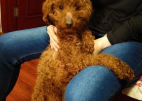 寻狗启示,在罗庄南里附近捡到一只棕色的公泰迪,它是一只非常可爱的宠物狗狗,希望它早日回家,不要变成流浪狗。