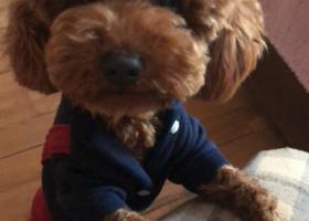 寻狗启示,六安路合工大捡到泰迪狗狗,它是一只非常可爱的宠物狗狗,希望它早日回家,不要变成流浪狗。