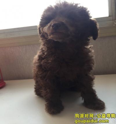 枣庄寻狗启示,一月17号丢失巧克力色泰迪犬,它是一只非常可爱的宠物狗狗,希望它早日回家,不要变成流浪狗。