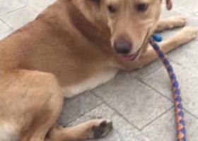 寻狗启示,紧急救助,拉布拉多犬走丢主人特别着急,它是一只非常可爱的宠物狗狗,希望它早日回家,不要变成流浪狗。
