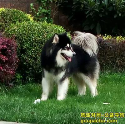 寻狗启示,无锡寻狗黑色阿拉斯加 急急急 希望有好心人????????,它是一只非常可爱的宠物狗狗,希望它早日回家,不要变成流浪狗。