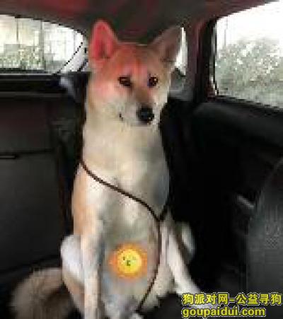 寻狗启示,寻找丢失秋田犬,青浦区华新镇嵩山村附近丢失,它是一只非常可爱的宠物狗狗,希望它早日回家,不要变成流浪狗。