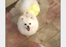 白色小型犬博美寻找,希望有心人对它好点