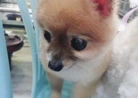 寻狗启示,寻找博美犬仔仔,等着你回家,它是一只非常可爱的宠物狗狗,希望它早日回家,不要变成流浪狗。
