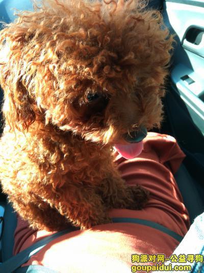 厦门捡到狗,寻狗启示  泰迪公狗棕色卷毛,它是一只非常可爱的宠物狗狗,希望它早日回家,不要变成流浪狗。