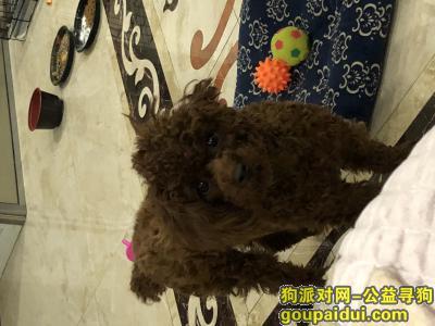 泰安丢狗,泰迪弟弟十个月想要巡回,它是一只非常可爱的宠物狗狗,希望它早日回家,不要变成流浪狗。