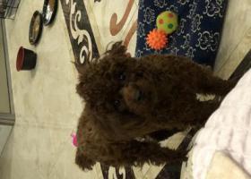 寻狗启示,泰迪弟弟十个月想要巡回,它是一只非常可爱的宠物狗狗,希望它早日回家,不要变成流浪狗。