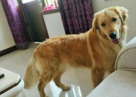 寻狗启示,本人于22日中丢失一只金毛犬(妖姬),它是一只非常可爱的宠物狗狗,希望它早日回家,不要变成流浪狗。