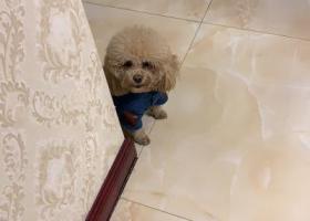 寻狗启示,寻找爱犬球球,一支香槟使色泰迪,它是一只非常可爱的宠物狗狗,希望它早日回家,不要变成流浪狗。