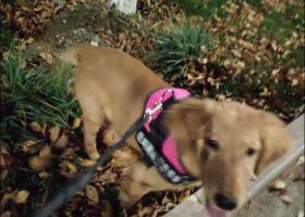寻狗启示,金毛犬   名字叫闹闹   四十斤左右,它是一只非常可爱的宠物狗狗,希望它早日回家,不要变成流浪狗。