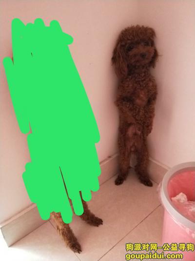 聊城寻狗,公泰迪2岁在山东聊城董付附近丢失,很着急,好心人知道的请与我联系,感激不尽,它是一只非常可爱的宠物狗狗,希望它早日回家,不要变成流浪狗。