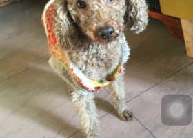 寻狗启示,白云新市捡泰迪一只,寻主人,急急急,它是一只非常可爱的宠物狗狗,希望它早日回家,不要变成流浪狗。