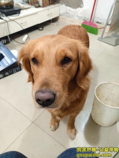 遂宁找狗,遂宁河东新区捡到的金毛,它是一只非常可爱的宠物狗狗,希望它早日回家,不要变成流浪狗。