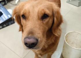 寻狗启示,遂宁河东新区捡到的金毛,它是一只非常可爱的宠物狗狗,希望它早日回家,不要变成流浪狗。