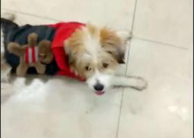 寻狗启示,广州番禺大石悦凯中心附近见到丢失的小狗,寻找主人,它是一只非常可爱的宠物狗狗,希望它早日回家,不要变成流浪狗。