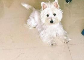 寻狗启示,广州市荔湾区中山七路酬谢五千元寻找西高地,它是一只非常可爱的宠物狗狗,希望它早日回家,不要变成流浪狗。