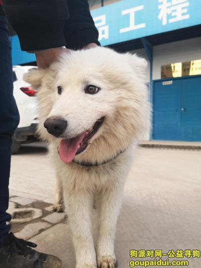 ,2019年1月26日捡到的萨摩耶,它是一只非常可爱的宠物狗狗,希望它早日回家,不要变成流浪狗。