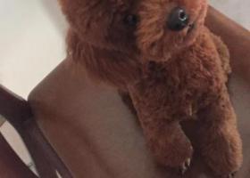 寻狗启示,1千元酬谢寻找走失泰迪,它是一只非常可爱的宠物狗狗,希望它早日回家,不要变成流浪狗。
