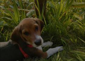 寻狗启示,我想接它回家,好心人帮忙找找,它是一只非常可爱的宠物狗狗,希望它早日回家,不要变成流浪狗。