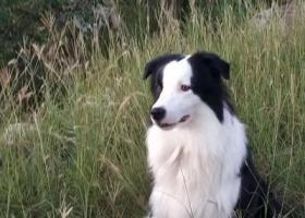 寻狗启示,黑白脸边牧丢了,大概1岁半,它是一只非常可爱的宠物狗狗,希望它早日回家,不要变成流浪狗。