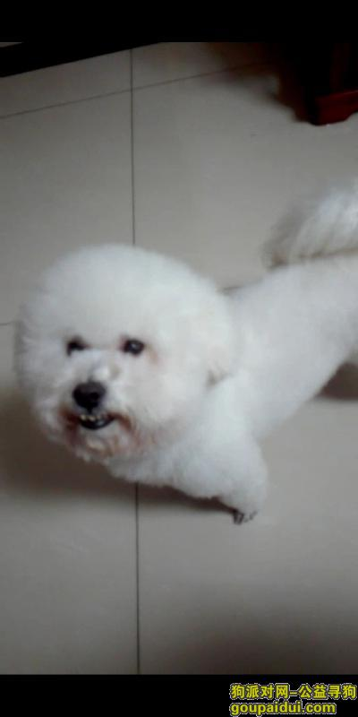 达州寻狗启示,比熊狗狗走丢,好心人帮忙提供线索,它是一只非常可爱的宠物狗狗,希望它早日回家,不要变成流浪狗。
