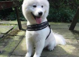 寻狗启示,寻狗启示 萨摩耶白色 公狗,它是一只非常可爱的宠物狗狗,希望它早日回家,不要变成流浪狗。