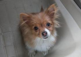 寻狗启示,佛山千灯湖地铁站附近走失的黄色小狗,类似博美,它是一只非常可爱的宠物狗狗,希望它早日回家,不要变成流浪狗。