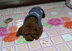 寻狗启示,丢失泰迪狗一只,有看到请联系我,它是一只非常可爱的宠物狗狗,希望它早日回家,不要变成流浪狗。