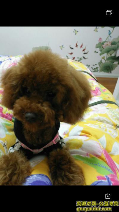 眉山寻狗启示,眉山红棕色泰迪身着粉色衣服6个多月大,它是一只非常可爱的宠物狗狗,希望它早日回家,不要变成流浪狗。